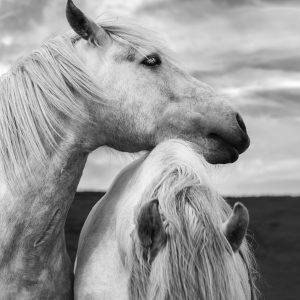 Beautiful white horses on the island of Islay, Hebrides, Scotland.